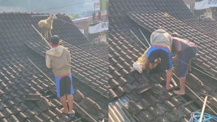 Warga Bersusah Payah Taklukkan Kambing Kurban yang Lari ke Atap Rumah sebelum Disembelih