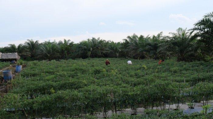 Potensi budidaya cabai Jawa di desa Kayu Arang yang sangat potensial