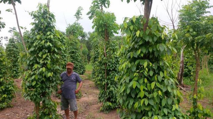 Kebun Lada Bangka Belitung
