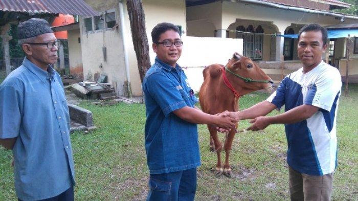 PT Timah Salurkan Hewan Kurban di Belitung