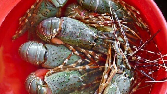 SOAL Ekspor Bibit Lobster : Susi Keberatan Edhy Buka Kembali, Presiden Jokowi Beri Penjelasan Begini