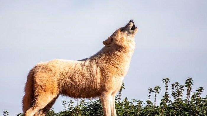 Terungkap, Ternyata Tak Berkaitan dengan Mistis, Ini Alasan Anjing Meraung pada Malam Hari