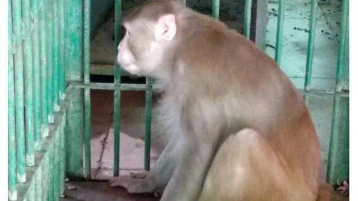 Video Monyet Serang Bocah 4 Tahun, Luka 22 Jahitan di Kepala