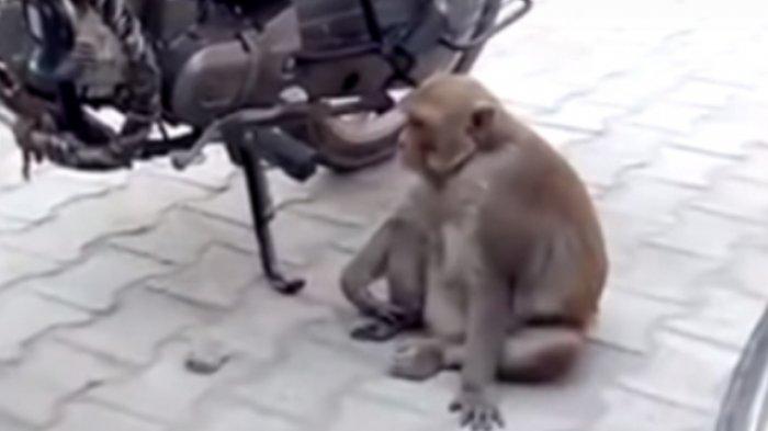 Kaget Lihat Ada Monyet Melintas, Pengendara Motor Jatuh Terjatuh, Dua Wanita Masuk Rumah Sakit