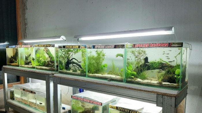 Koleksi ikan lokal, lokality dan endemik di Pusat Riset dan Edukasi The Tanggokers