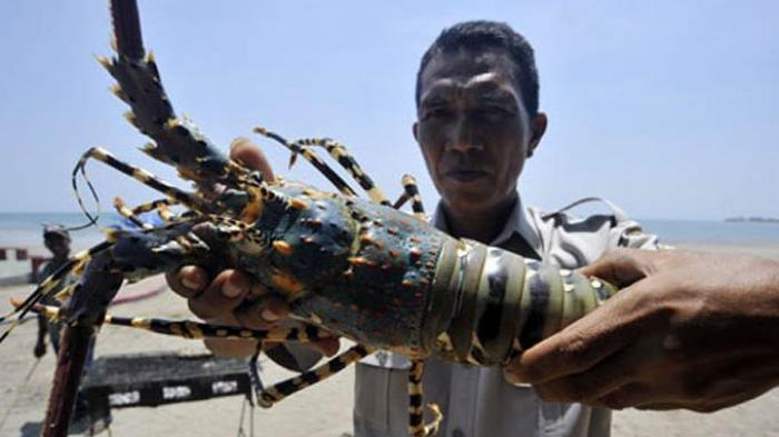 Harga Sepiring Lobster di Amerika Serikat Capai Rp630 Ribu, Ini Kata Luhut Soal Kebijakan Benihnya