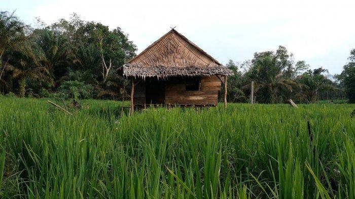 Padi Ladang salah satu komoditi pangan desa Kayu Arang