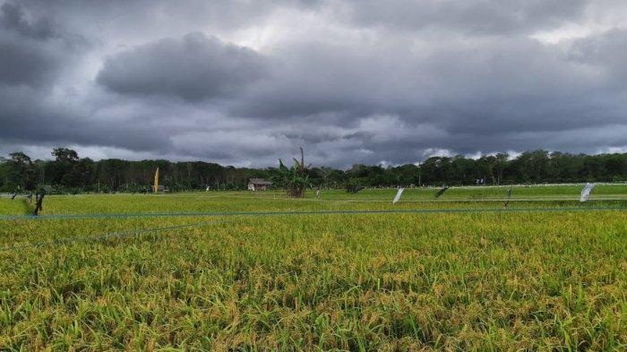 Banyak Lahan Sawah Tak Sampai 1.000 Hektar, Kendala Pemprov Babel Bangun Saluran Irigasi