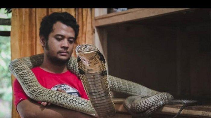 Orang Lain Bisa Mati Digigit King Kobra, Panji Petualang Cuma Rasakan Bengkak Dioles Alkohol