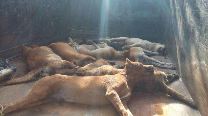 Anjing Liar Resahkan Warga Belitung, Populasinya Capai Ratusan Ekor Dinilai Jadi Ancaman