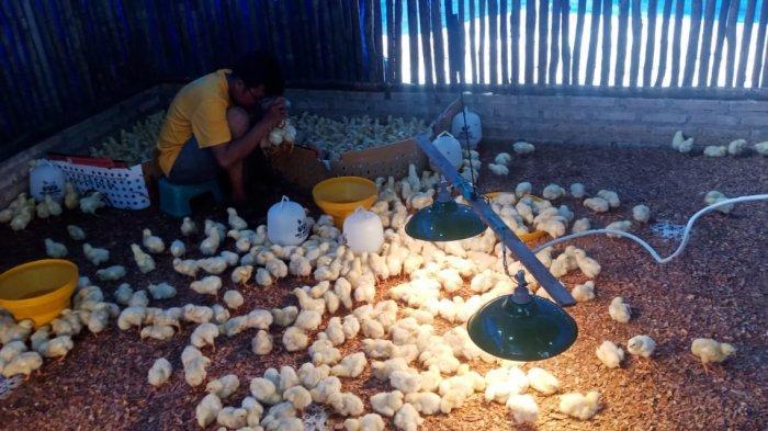 Pemkab Belitung Bagi 20 Ribu Bibit Ayam Antisipasi Lonjakan Harga Natal dan Tahun Baru