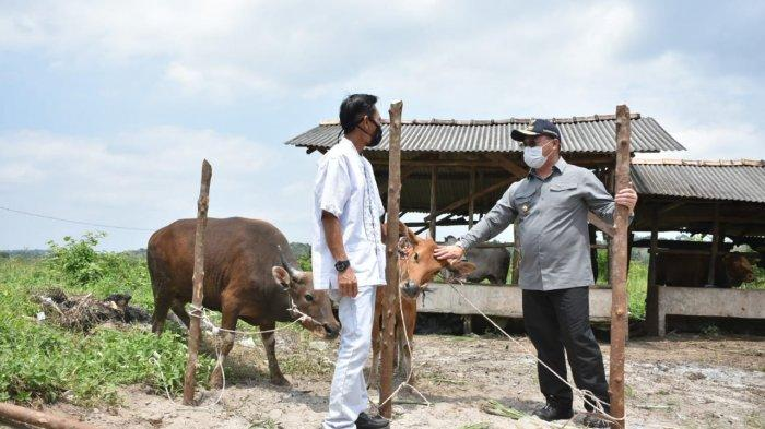 Keberhasilan Program Penggemukan Sapi Berkat Bantuan KUR BNI, Indra: Gubernur Menjamin Kami
