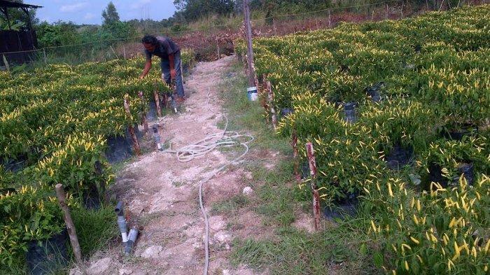 Di Belitung, Hanya Petani Cabai Seperti Ini yang Bisa Diberikan Bantuan