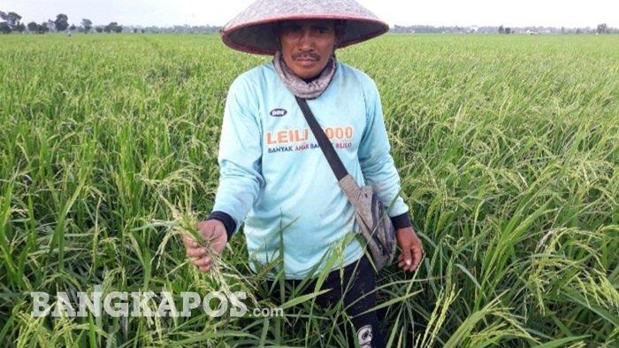 Petani Desa Rias Kewalahan dan Merugi, Puluhan Hektar Padi Diserang Hama Tikus