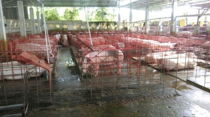 Foto Babi Di Potong Kabupaten Bangka Terbanyak Produksi Daging Babi Tahun 2018 Rph Potong 2 594 Ekor Bangka Pos