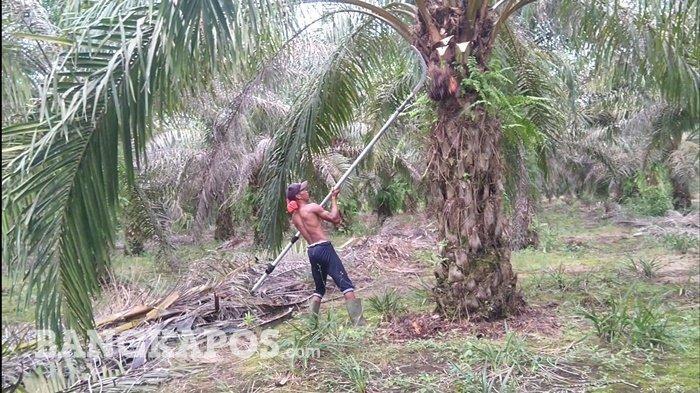Pemetik Sawit di Bangka Belitung Bersukaria, Upah Sehari Setengah Juta Rupiah