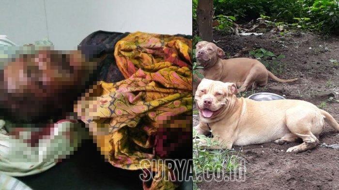 Belajar Dari Kasus Tewasnya Kakek Diserang Pitbull Lakukan Ini Jika Berhadapan Dengan Anjing Galak Bangka Pos