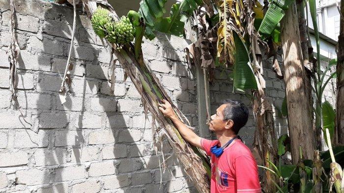 Pohon Pisang Milik Warga Koba Ini Buahnya Tumbuh di Bagian Tengah Batang, Bikin Andreas Kaget