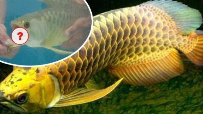 DIKIRA Sakit, Pria Ini Kaget Setelah Buka Mulut Ikan Arwana yang Baru Dibelinya