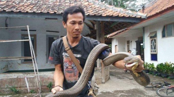 Pengalaman Mengerikan Pawang Ular Asal Jawa Barat, Jari Sempat Membusuk Digigit King Cobra