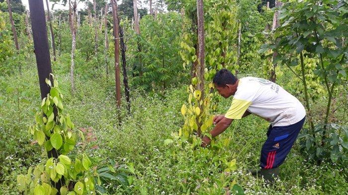 Mang Yamin Berharap Pemkab Bangka Selatan Membantu Petani Lada yang Alami Kesulitan
