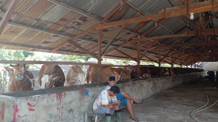 Dampak Covid-19, Penjualan Sapi dan Kambing Kurban Milik Badut Menurun 30 Persen