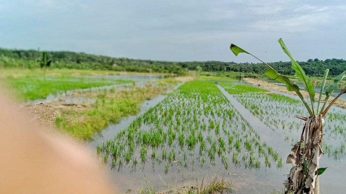 Soal 10 Hektare Padi Sawah Terancam Gagal Panen, Kadispernak Bangka Koordinasi ke Camat Merawang