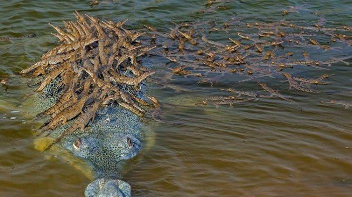 Seekor gharial atau buaya pemakan ikan di India tertangkap kamera menggendong 100 anaknya. Foto ini menjadi salah satu dari 100 gambar yang sangat dipuji dalam kompetisi Fotografer Satwa Liar Tahun Ini, yang diselenggarakan oleh Natural History London.