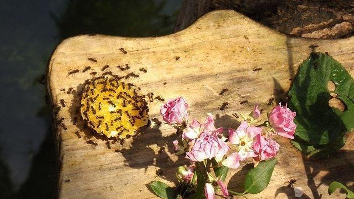 Ternyata Begini Cara Semut Menemukan Makanan hingga Rahasia Ini