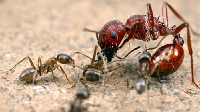 Dijamin Tak Datang Lagi, Ini Cara Usir Semut Dengan 10 Bahan Dapur
