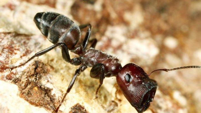 Semut Ini Ledakan Diri untuk Lindungi Koloninya