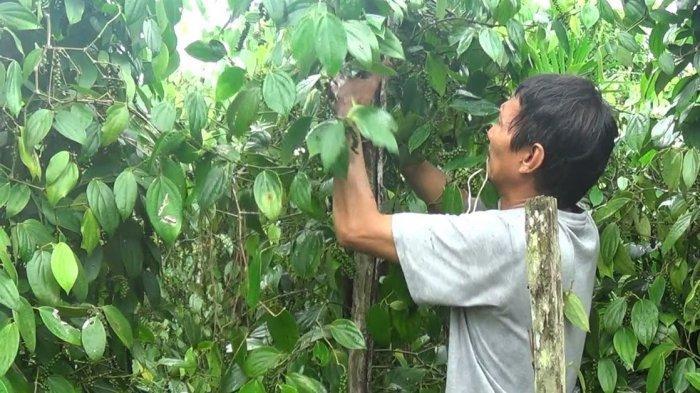 Meski Ladanya Bisa Terjual Hampir Rp 1 Miliar, Petani Lada Bangka Belitung Ini Tetap Tak Mau Jual