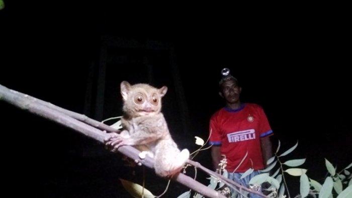 Tarsius, Si Monyet Hantu yang Sandiaga Uno Lihat selama 45 Detik Saat Berkunjung ke Pulau Belitung