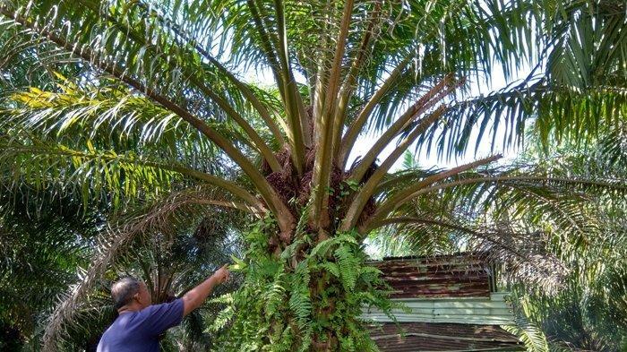 Pemerintah Bantu Rp 25 Juta per Hektare untuk Peremajaan Sawit Rakyat, Kuota Babel Tiga Ribu Hektare