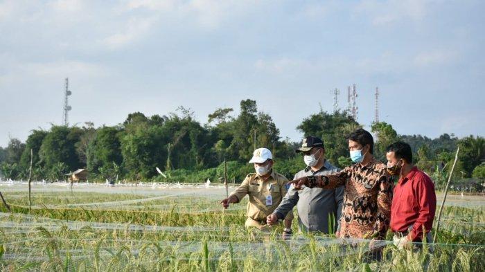 Menuju Pertanian Modern, Gubernur Bangka Belitung Tinjau Sawah Namang