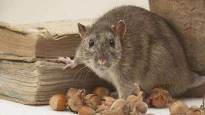 5 Cara Usir Tikus di Rumah Langsung dari Pakar Tikus IPB