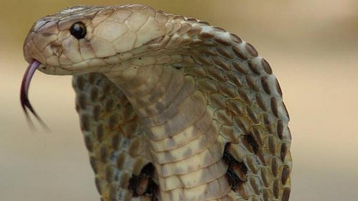 Wanita Ini Menikahi King Kobra, 2.000 Tamu Hadir, Berawal dari Beri Susu hingga Sembuh dari Penyakit