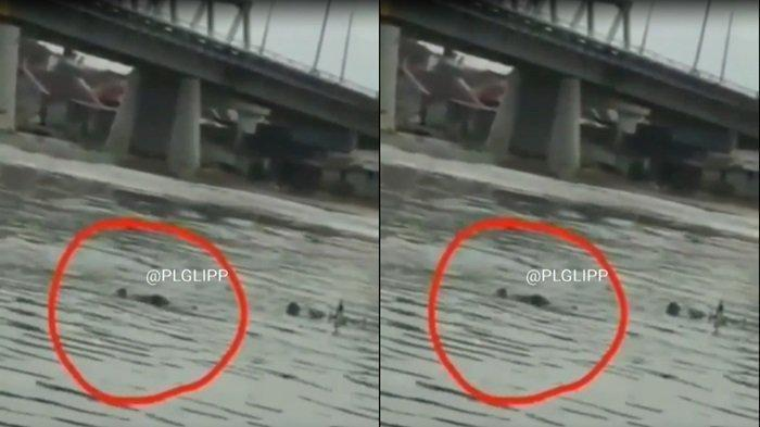 BUAYA 'Si Buyut' Muncul di Sungai Musi Tempat Anak-anak Berenang, Begini Wujudnya