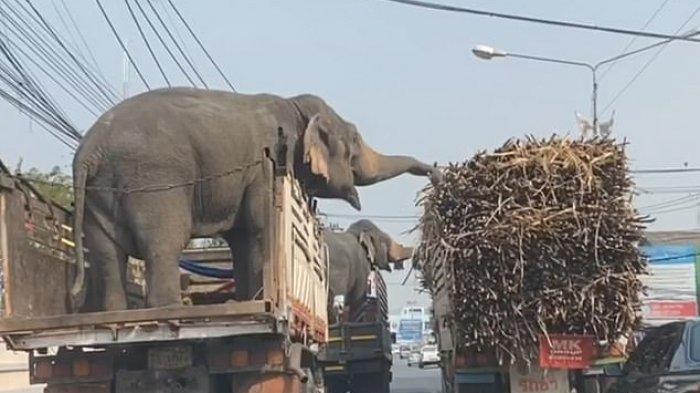 Postingan Video Dua Gajah Curi Tebu di Lampu Merah Viral Saat Diperjalanan, Pengendara Takjub