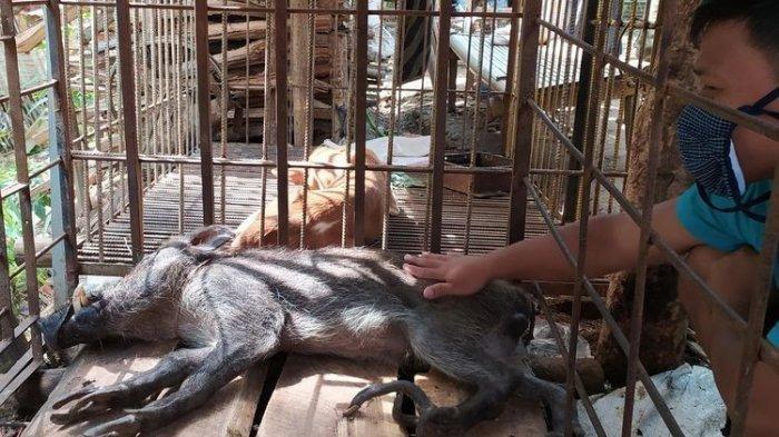 ANEH DAN UNIK, Babi Hutan Ini Punya Jari-jari Mirip Ceker Ayam dan Suka Minum Kopi dan Teh