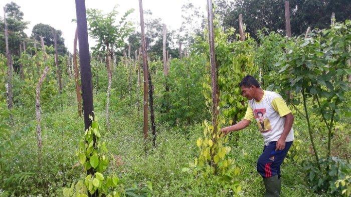Curhat Harga Lada Anjlok, Petani Terpaksa Banting Tulang Jadi Kuli Bangunan Demi Nafkahi Keluarga
