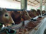 20210623-sapi-di-rumah-ternak-sapi-milik-h-sarmud-di-padang-mulya-koba-bangka-tengah.jpg