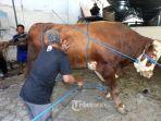 20210719-sejumlah-panitia-kurban-berusaha-merobohkan-sapi-limosin.jpg