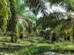 20210806-kebun-kelapa-sawit.jpg