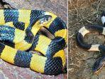 23012020_ular-weling-dan-welang.jpg