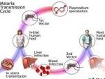 Malaria1.jpg