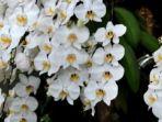 anggrek-pleihari-phalaenopsis-amabilis_20161119_230316.jpg