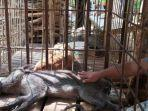 babi-berkaki-aneh-di-desa-pekuncen-kecamatan-jatilawang13141414.jpg