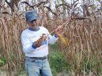 bambang-prayitno-petani-sorgum-di-kabupaten-bangka-selasa-2612021.jpg
