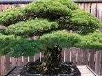 bonsai-dari-jenis-pinus-putih-jepang-ini-berusia-390-tahun.jpg